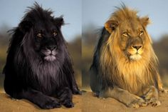 A melanistic lion is also known as a photoshopped lion. Don't believe everything you see on the Internet!