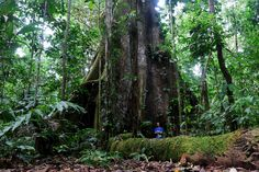 Ceiba-tree-trunk-by-Geoff-Gallice-5420698310_dcfa187cc0_b.jpg 1,024×683 pixels