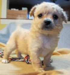 Peanut is an adoptable Poodle Dog in Manchester, CT. Update 3/10/13: Give a warm welcome to Peanut! Peanut, her four other siblings and her mom were all rescued from a neglectful living situation. Pe...