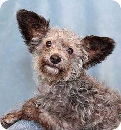 Creepy  puppy! Encinitas, CA - Maltese/Poodle (Miniature) Mix. Meet Nikita a Puppy for Adoption.