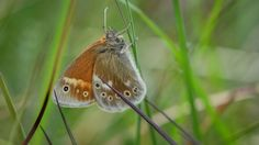The large heath butterfly has been disappearing from northern England, where it was once common. But after three years of careful captive breeding, scientists from Chester Zoo say they have established a stable wild colony at Heysham Moss. Only two other locations in Lancashire play host to this fluffy brown species, which thrives in low, damp boglands.