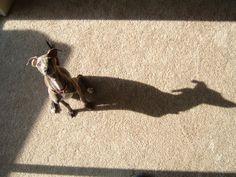 Guinie the Italian Greyhound