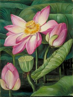 Foliage, Flowers, and Fruit of the Sacred Lotus in Java  by Marianne North  Location: Java  Plants: Water Lily, Nelumbium speciosum  © Kew Gardens, London  http://www.kew.org/mng/gallery/plant-portraits