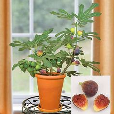Breva - Algunas variedades de higuera, como esta Ficus carica 'Petite Negra', se pueden cultivar en maceta e incluso pueden fructificar.