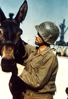 An American soldier attends to a mule while the animals were being loaded onto LST boats in preparation for the invasion of Italy, 1944. (Photo by PhotoQuest/Getty Images)