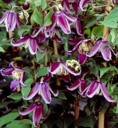 Clematis Integrifolia 'Jan Fopma' PPAF. Very compact and free flowering! Rose-purple bell-shaped flowers have distinctive light pink edges, flared tips, and thick substance. Slight sweet fragrance and attractive silky seed heads. Excellent for containers. Honors a noted Dutch Clematis authority.    Size: 3'-4' tall x 2' wide.. Bloom time: Mid to late summer. Plant zones: 4-9. PRUNE GROUP 3