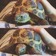 Tortoise cuddles