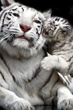 "White tigers- so sweet. Almost looks like baby is whispering in mom's ear. ""Hey, mommy, I love you."" :)"