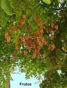 jabonero de la china árbol de los farolitos