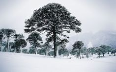 With a fresh layer of snow, these famous monkey puzzle trees in the Malalcahuello National Reserve in Chile give the area a mythical air.