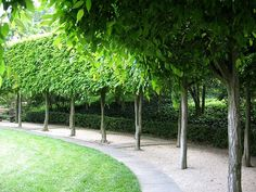 hornbeam hedge; NOT THESE TREES BUT SOMETHING SIMILAR FOR A DOUBLE ROW PLANTING ;;;BANKSIA or HILLS FIG