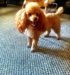 Abstract toy poodle: Diamond