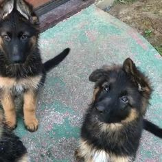 German shepherd puppies cuteness overload 😍 - picture for you Cute Funny Animals, Cute Baby Animals, Funny Dogs, German Shepherd Videos, Baby German Shepherds, Black German Shepherd Puppies, Long Haired German Shepherd, German Shepherd Training, West Highland Terrier