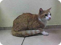Brooklyn, NY - Domestic Shorthair. Meet BRICE a Cat for Adoption.