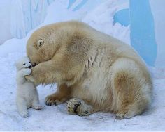 "Mom Polar Bear:  ""I can feel your heartbeat, son."""