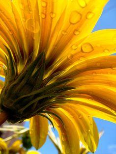 Water drops on yellow gazania flower against blue sky