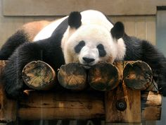 Though it's just days before the Fourth of July, it seems like weeks away – and Shin Shin, the giant panda from Tokyo's Ueno Zoo, totally feels our pain (and craving for barbecue). Panda Love, Red Panda, Cute Panda, Happy Panda, Ueno Zoo, Animals And Pets, Cute Animals, Panda's Dream, Wild Lion