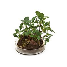 "8"" Bonsai Tree in Glass Tray, Faux ($55) ❤ liked on Polyvore featuring home, home decor, floral decor, fillers, plants, flowers, fillers - green, glass tray, distinctive designs and flower home decor"