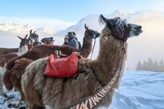Anders wandern: Lama-Trekking im Montafon