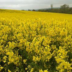 #yellow #field Max #hike #walk #derbyshire #chesterfield