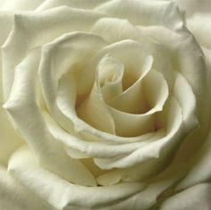 Single Cream Rose (000524) - Arthouse Art - A canvas photo image of a single cream rose in stunning close-up detail. Canvas size 48 x 48 x 1.8cm deep.