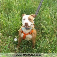 Δίνεται για υιοθεσία - χαρίζεται σκυλάκος Pit Bull - Πίτ Μπουλ Τερριέ Pitbulls, Dogs, Animals, Animales, Pit Bulls, Animaux, Pet Dogs, Pitbull, Doggies