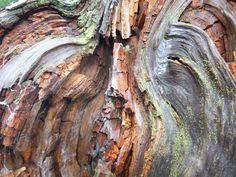 Inside of Burl Wood knot