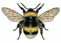 Vic.gov have info on Feeding BEES.. http://agriculture.vic.gov.au/agriculture/livestock/honey-bees/compliance-and-management/feeding-honey-bee-colonies-to-prevent-starvation     worker bumble bee