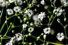 Macro shot of a bouquet of baby's breath flowers. Babys Breath Flowers, Baby's Breath, Bouquet, 3d, Plants, Bouquet Of Flowers, Bouquets, Plant, Floral Arrangements