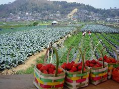Strawberry farm, La Trinidad, close to Baguio City PH Baguio Philippines, Philippines Vacation, Visit Philippines, Philippines Beaches, Philippines Tourism, Baguio City, Cebu City, City Aesthetic, Travel Aesthetic