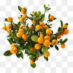 138 Best Kumquat Tree In Container Images Citrus Fruits Citrus