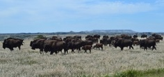 Buffalo herd in Theodore Roosevelt National Park -- Read about this and many of our other sites on our Great American Dream Road Trip at http://wp.me/p2jpOf-Ag