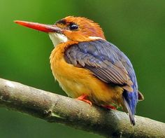 African Dwarf Kingfisher (Ispidina lecontei) is the smallest species of kingfisher which averages at 10.4 g and 10 cm (4 inches). They consume a wide range of prey as well as fish, usually caught by swooping down from a perch. Like other members of their order they nest in cavities, usually tunnels dug into the natural or artificial banks in the ground.