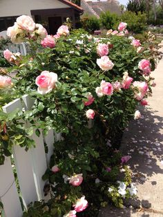 English roses draping over a charming white  fence line