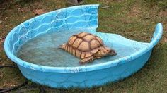 Turn a kiddie pool into a pool for your tortoise! Get a plastic kiddie pool that is a good size for your tortoise. Cut off a section of the wall of the pool and sand the cut edges of the plastic smoot Tortoise House, Tortoise Food, Tortoise Habitat, Turtle Habitat, Sulcata Tortoise, Tortoise Care, Giant Tortoise, Tortoise Turtle, Baby Tortoise