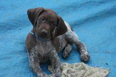 My baby boy Brody. German shorthaired pointer puppy.