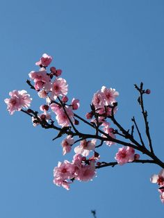 another of the Japanese Cherry?