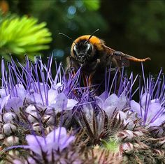 """Fräulein Nellüüü on Instagram: """"💚 Die Hummel winkt und wünscht Euch schöne Pfingsten 💚 . . #hummel #hummelliebe #allesblüht #bienenweide #gründüngung #phacelia…"""" Insects, Flora, Bee, Animals, Instagram, Pentecost, Nice Asses, Honey Bees, Animales"""