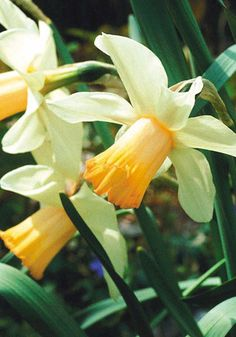 Known for decades as THE pink daffodil, 'Mrs. R.O. Backhouse' is one of the landmark bulbs of the 20th century. She's more truly ivory and apricot, but so beautiful — a veritable sunrise for those who watch closely — that most modern pinks just can't compare.