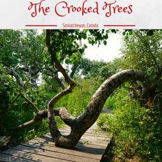 the crooked trees near hatford Saskatchewan Crooked Tree, Buy Domain, Photo Ideas, Trees, Canada, Plants, Roots, Shots Ideas, Tree Structure