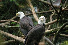 eagles.......