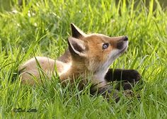 Items similar to Lookin' Up - Red Fox Kit - Fine Art Print on Etsy Red Guy, Arctic Circle, Fox Art, Head Shapes, Animal Heads, North Africa, Woodland Animals, Squirrel, Baby Foxes