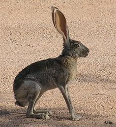 """This is a jackrabbit - Hares and jackrabbits are leporids belonging to the genus Lepus. Hares have jointed or kinetic skulls unique among mammals. Not to be confused with """"Rabbits"""". Beautiful Creatures, Animals Beautiful, Cute Animals, Rabbit Anatomy, Hare Pictures, Hare Images, Cute Baby Bunnies, Bunny, Rabbit Sculpture"""