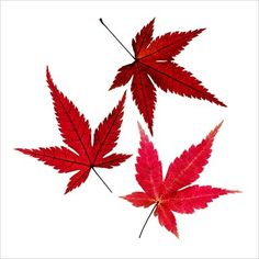 GAP Photos - Garden & Plant Picture Library - Acer leaves - GAP Photos - Specialising in horticultural photography