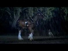 Budweiser Clydesdale Team Commercial