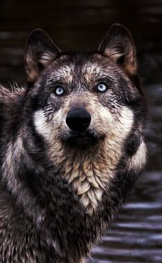 is it a bird is it a plane? a curious wolf paying attention . is it a bird is it a plane. Wolf Spirit, My Spirit Animal, Wolf Pictures, Animal Pictures, Beautiful Creatures, Animals Beautiful, Tier Wolf, Animals And Pets, Cute Animals