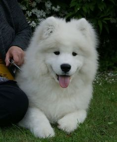samoyed-look at that little face!