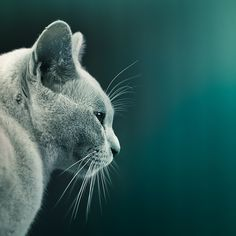 Cat by ►CubaGallery, via Flickr