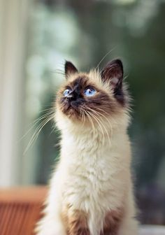 Top 5 Cat Breeds For Families