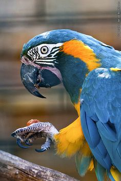 Nature does some incredible things Blue-throated Macaw